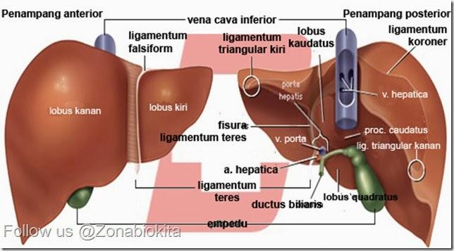 anatomi-hepar