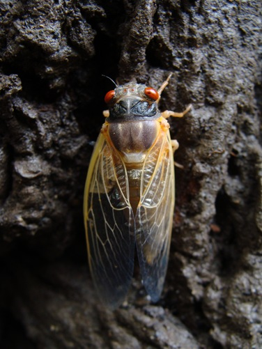 halfdry cicada