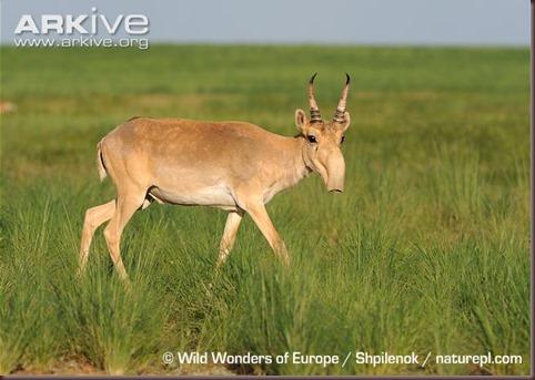 ARKive image GES112238 - Saiga antelope
