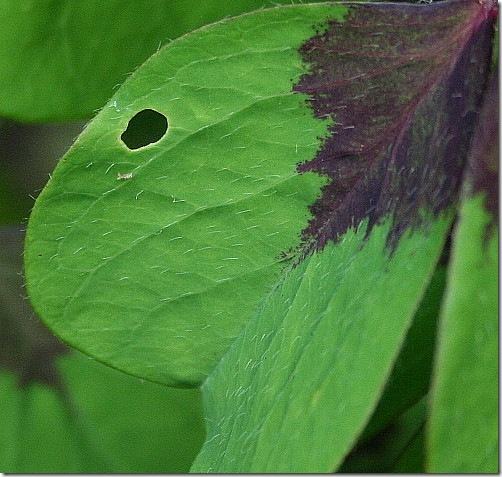 garden-oxalis-flawed-aug08