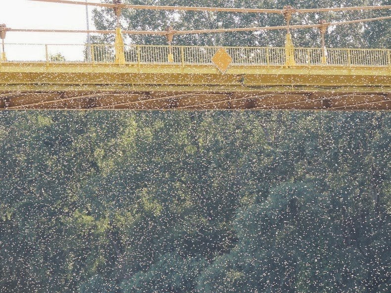 ظاهرة تكاثر ذبابة مايو تشكل اجمل المناظر الساحرة تيسا