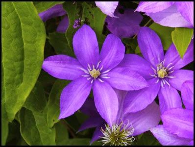 Purple Clematis6