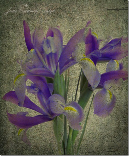 Iris_Love2