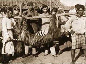 Panthera_tigris_balica