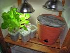 16-17 week summercrisp lettuce splashers - three new (summercrisp, red sails, little caesar), and cucumber pot