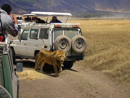 Safari Tanzania: Leu la vanatoare