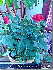 Rose plate 1
