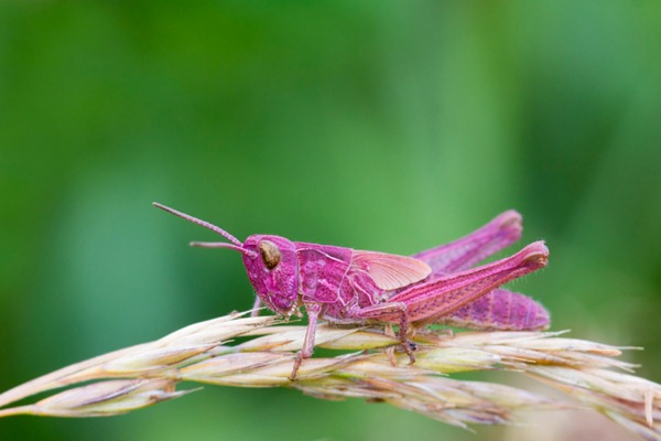 rare grasshopper pink fly