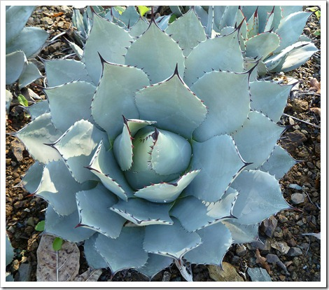 111008_rbg_Agave-parryi-truncata_02