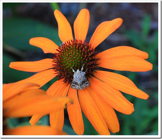 120615_Echinacea-Tiki-Torch_04