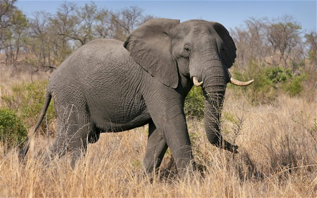 Incidents of elephant poaching have been on the rise in recent years, driven by increased demand for ivory Photo: EPA