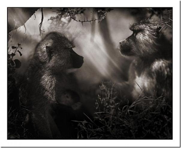 Fotos preto e branco de animais selvagens (36)