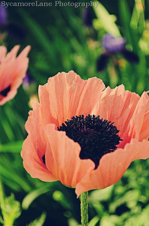 poppies-vintage-w