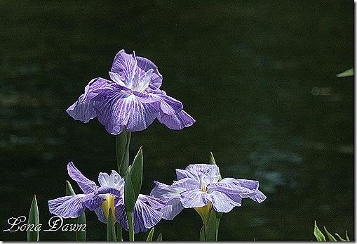 LG_Iris_Purple
