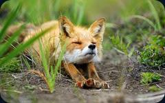 foxes-wildlife02
