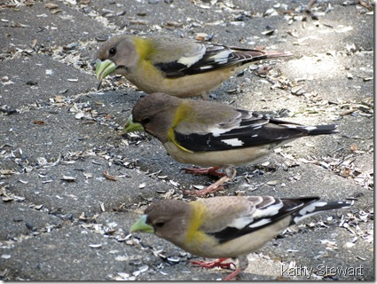 March of the Grosbeaks