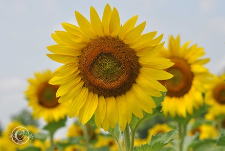 cr-sunflower-1-wb-0010