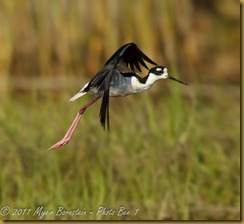 Black-necked Stilt  Black-necked Stilt Flight_ROT4247   NIKON D3S June 04, 2011