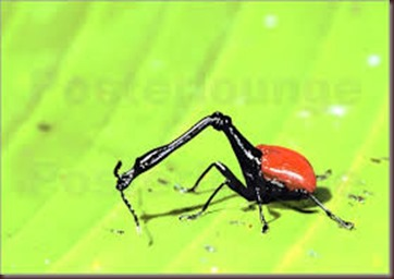 Amazing Pictures of Animals, photo, Nature, exotic, funny, incredibel, Zoo, Giraffe weevil, Insecta, Alex (23)