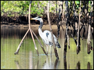 03 - Great Blue Heron behind the Red Mangrove Roots