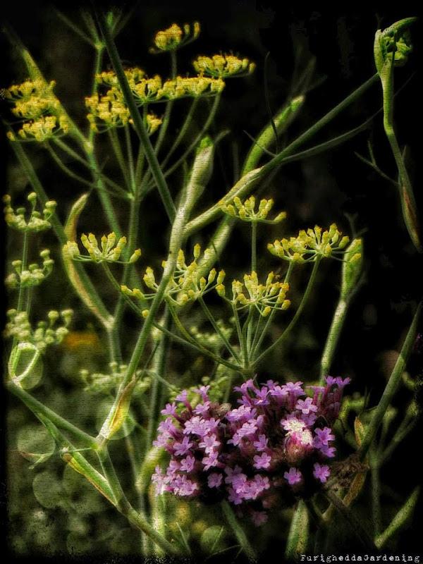 foeniculum, verbena bnariensis companion, dry garden