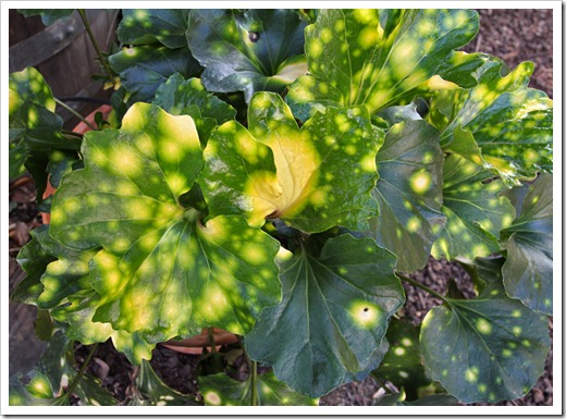120310_Farfugium-japonicom-Aureomaculatum_03