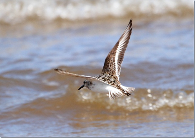 sanderling_flight