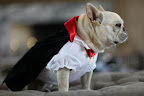 This year, Francesca and Sharkey had their pick of Martha's new PetSmart costumes. Here, Sharkey tries on a vampire outfit.