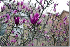 Magnolias, my favorite tree flowers