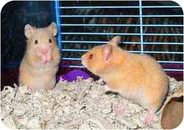 Hamsters like Mario and Luigi (Abingdon, MD) are used a great deal in invasive research as well. These guys would welcome a safe and loving home.