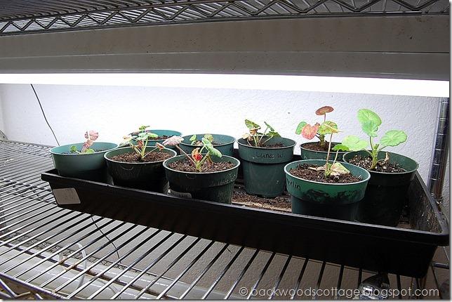 geraniumseelings