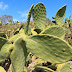 Mission Prickly-pear - Photo (c) DavidR.808, some rights reserved (CC BY-NC-SA)