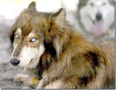 wolf_hybrid_1226_3