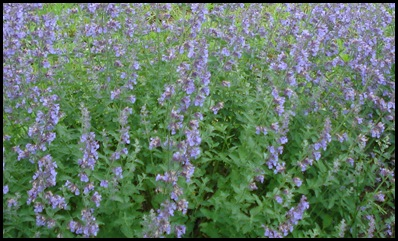Russian-sage1