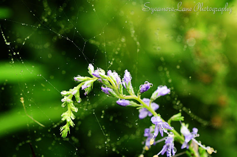 water drops flower-web