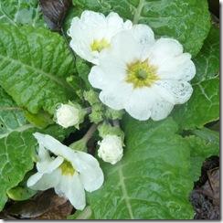 thawed primroses