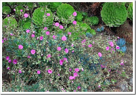 120929_SucculentGardens_Calandrinia-spectabilis_02