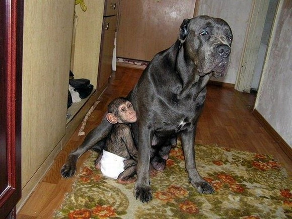 Chimpanzee Adopted By a Mastiff 010