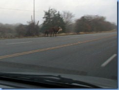 7353 Texas - US-183 North -cattle on road