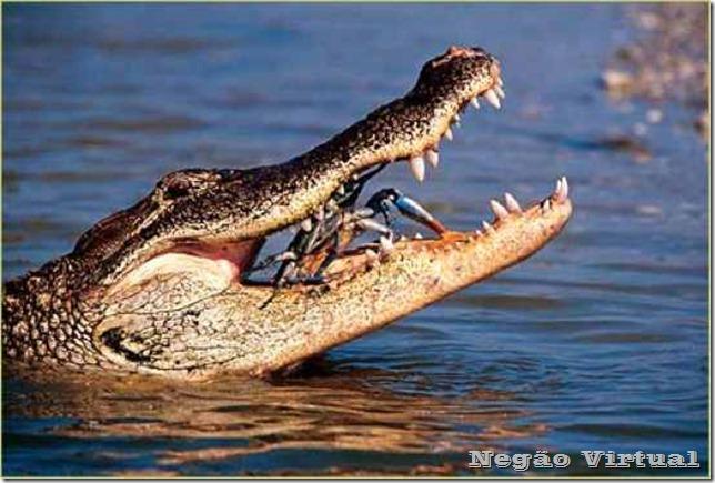 aligator dois toed tom