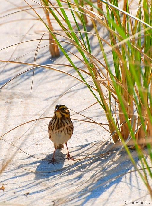 4. Savanah Sparrow-kab