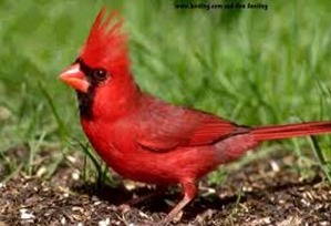 Amazing Pictures of Animals,photo, Nature, exotic, funny, incredibel, Zoo, Northern Cardinal, (Cardinalis cardinalis), Bird, Aves, Alex (3)