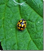 14 spot ladybird Anglesey Wharf May 2014 (1)