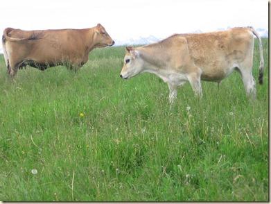 Cow 096