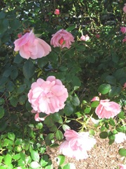 cape cod 6.12 pink roses