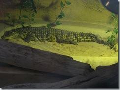 2011.11.14-018 crocodile