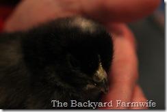chicks 05