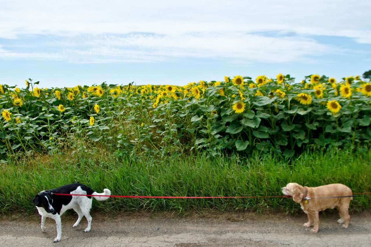 Chewy and Abby with sunflowers