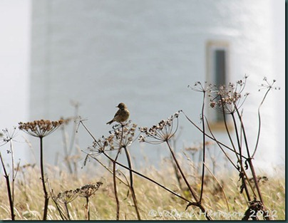 2-meadow-pipit