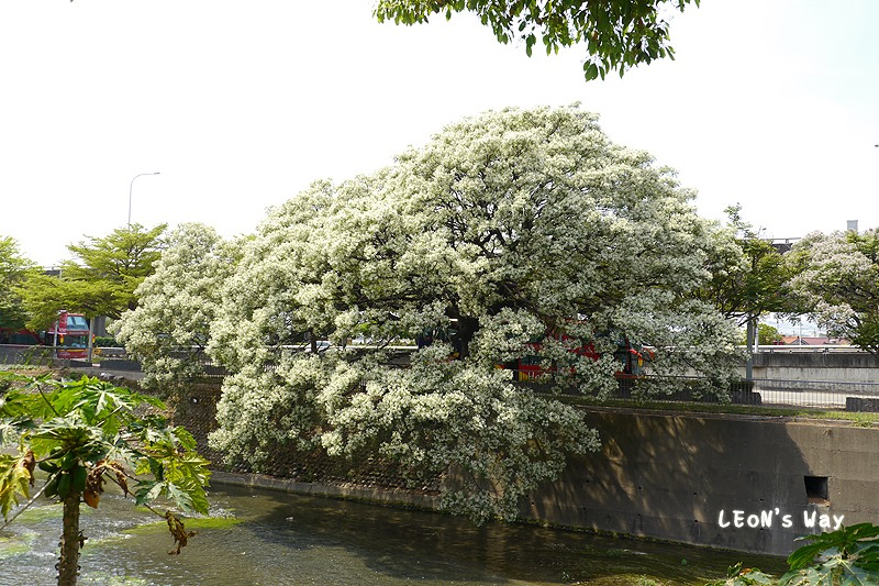 2013_0321-0322 苦楝樹_055